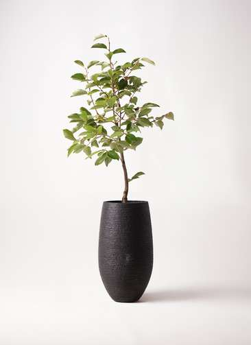 柿の木 8号 次郎 フォンティーヌトール 黒 付き