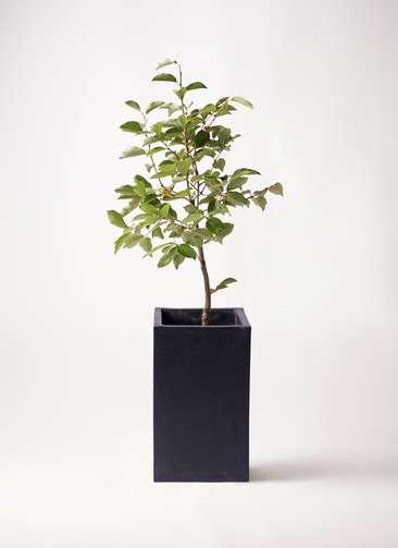 柿の木 8号 次郎 セドナロング 墨 付き