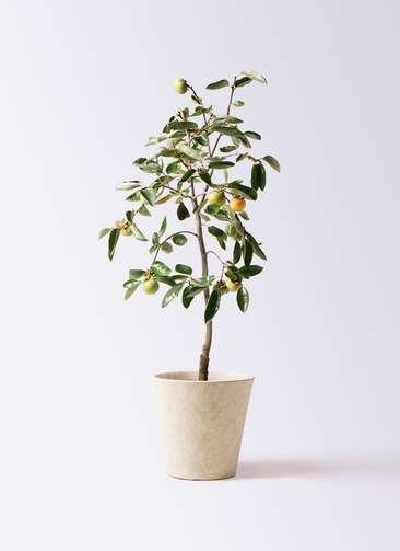 柿の木 8号 富有 フォリオソリッド クリーム 付き