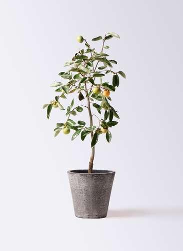 柿の木 8号 富有 フォリオソリッド ブラックウォッシュ 付き