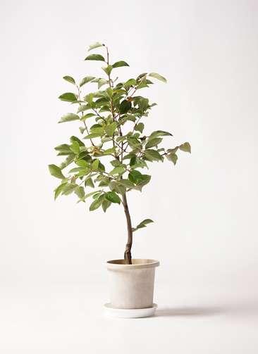 柿の木 8号 次郎 プラスチック鉢