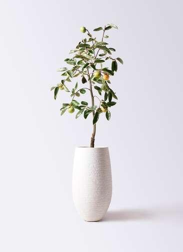 柿の木 8号 富有 フォンティーヌトール 白 付き