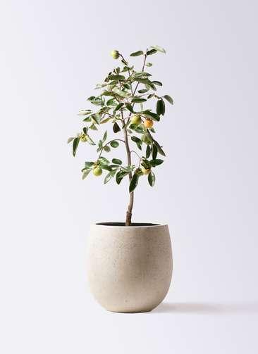 柿の木 8号 富有 テラニアス バルーン アンティークホワイト 付き
