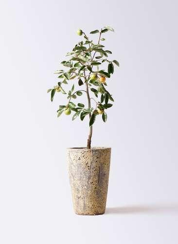 柿の木 8号 富有 アトランティス クルーシブル 付き