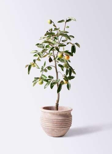 柿の木 8号 富有 テラアストラ リゲル 赤茶色 付き