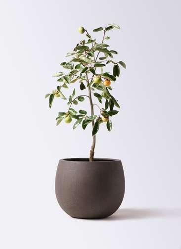 柿の木 8号 富有 テラニアス ローバルーン アンティークブラウン 付き