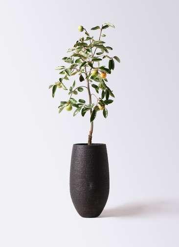 柿の木 8号 富有 フォンティーヌトール 黒 付き