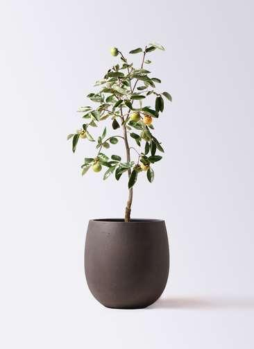 柿の木 8号 富有 テラニアス バルーン アンティークブラウン 付き