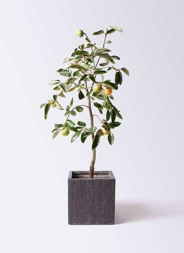 柿の木 8号 富有 ベータ キューブプランター ウッド 茶 付き