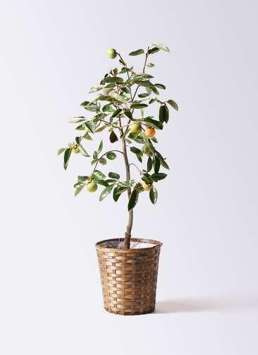 柿の木 8号 富有 竹バスケット 付き