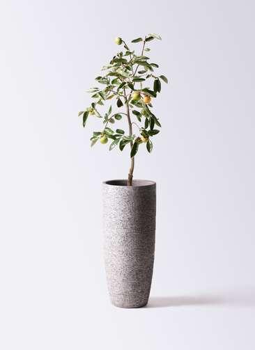 柿の木 8号 富有 エコストーントールタイプ Gray 付き