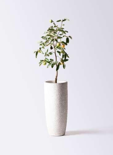 柿の木 8号 富有 エコストーントールタイプ white 付き