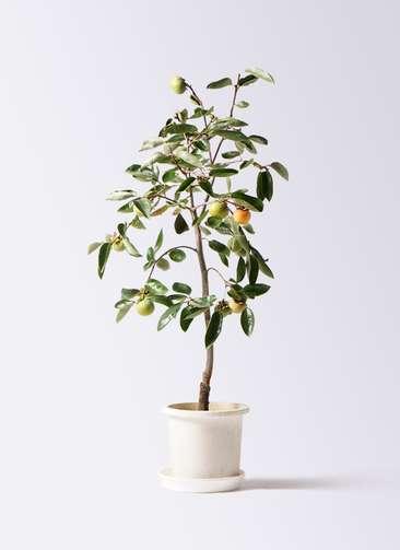 柿の木 8号 富有 プラスチック鉢