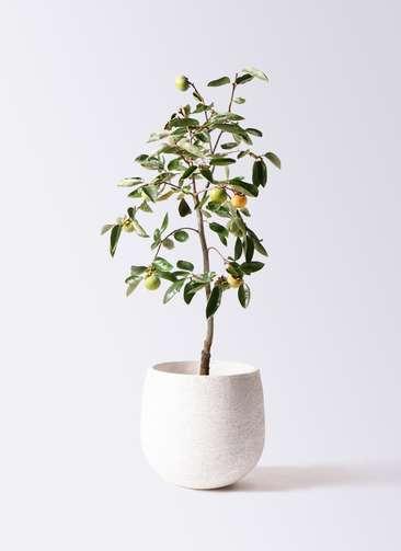 柿の木 8号 富有 エコストーンwhite 付き