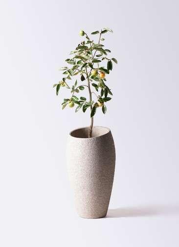 柿の木 8号 富有 エコストーントールタイプ Light Gray 付き