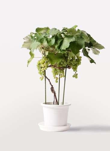 ぶどう (ブドウ)の木 7号 マスカット プラスチック鉢