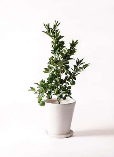 みかんの木 8号 温州みかんの木 サブリナ 白 付き