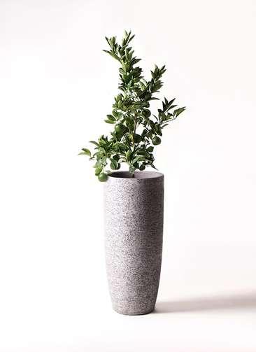 みかんの木 8号 温州みかんの木 エコストーントールタイプ Gray 付き