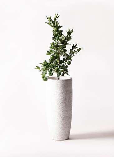 みかんの木 8号 温州みかんの木 エコストーントールタイプ white 付き