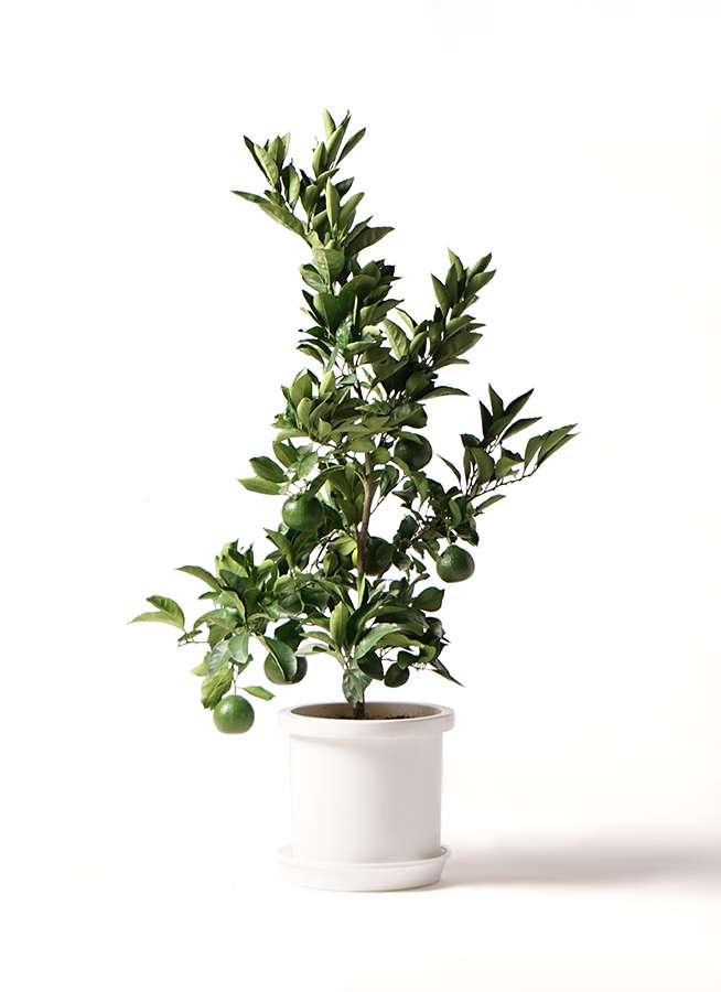 みかんの木 8号 温州みかんの木 プラスチック鉢