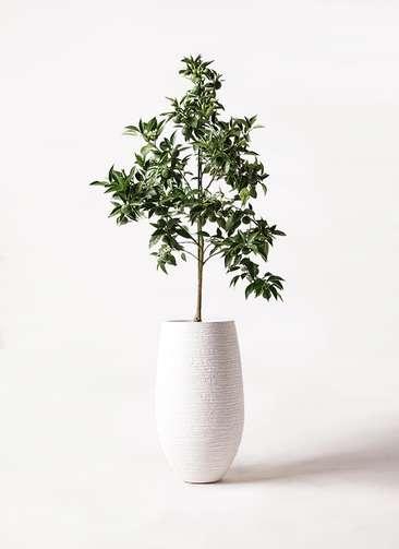 かぼすの木 8号 フォンティーヌトール 白 付き
