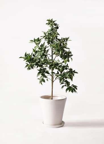 かぼすの木 8号 サブリナ 白 付き