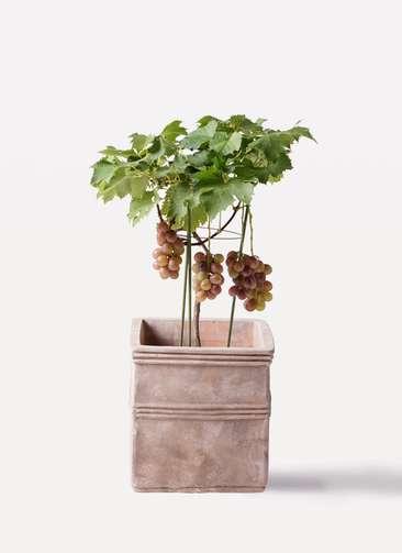 ぶどう (ブドウ)の木 7号 巨峰 テラアストラ カペラキュビ 赤茶色 付き