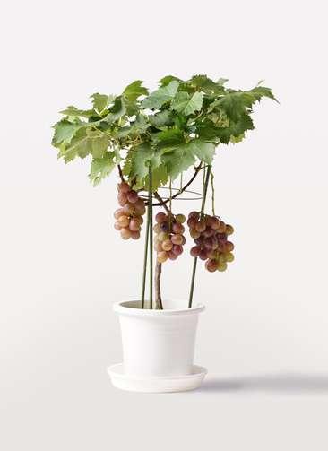 ぶどう (ブドウ)の木 7号 巨峰 プラスチック鉢