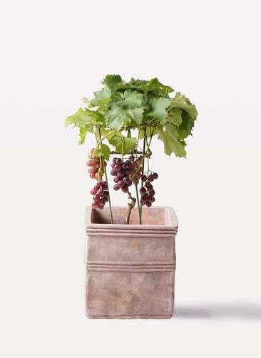 ぶどう (ブドウ)の木 7号 ミックス テラアストラ カペラキュビ 赤茶色 付き