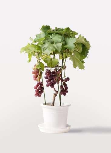 ぶどう (ブドウ)の木 7号 ミックス プラスチック鉢