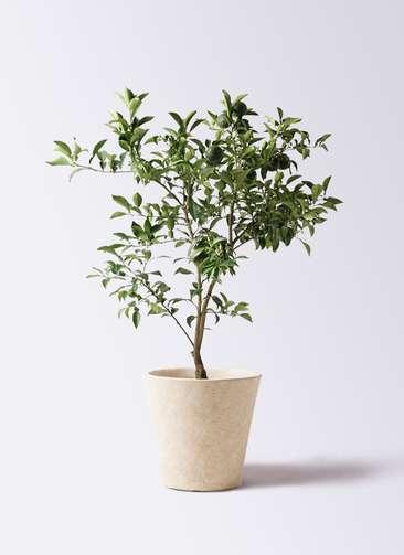 柚子 (ゆず)の木 8号 フォリオソリッド クリーム 付き