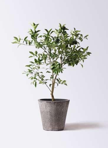 柚子 (ゆず)の木 8号 フォリオソリッド ブラックウォッシュ 付き