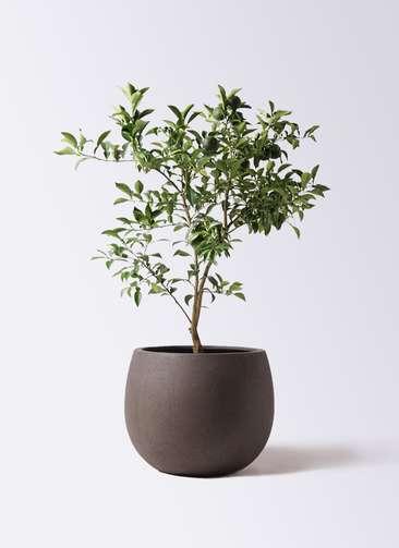 柚子 (ゆず)の木 8号 テラニアス ローバルーン アンティークブラウン 付き