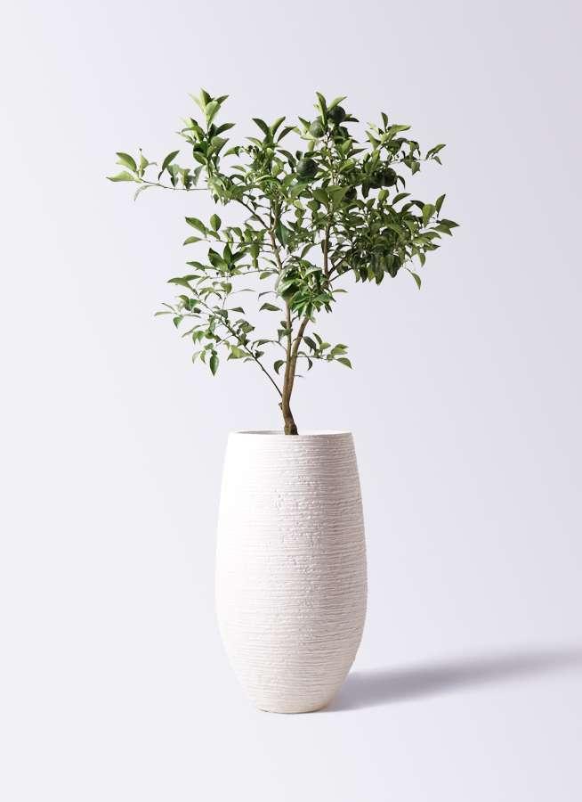 柚子 (ゆず)の木 8号 フォンティーヌトール 白 付き