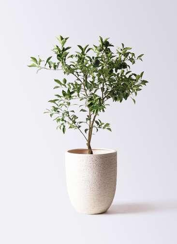 柚子 (ゆず)の木 8号 ビアスアルトエッグ 白 付き