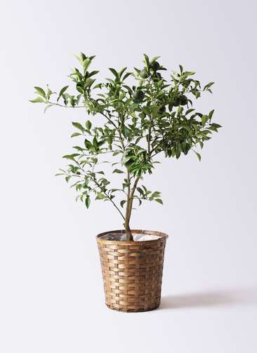 柚子 (ゆず)の木 8号 竹バスケット 付き