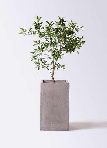 柚子 (ゆず)の木 8号 セドナロング グレイ 付き