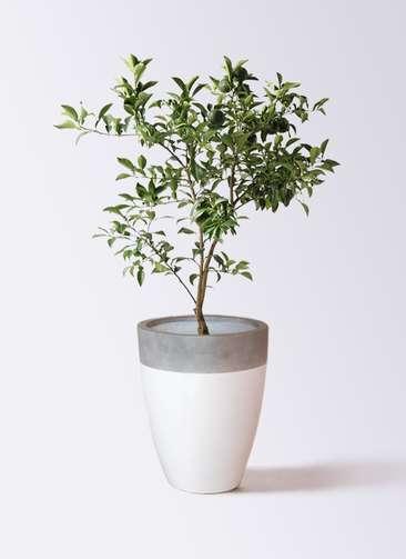 柚子 (ゆず)の木 8号 ファイバーストーンカプリ 白 付き