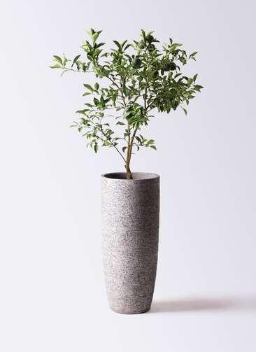 柚子 (ゆず)の木 8号 エコストーントールタイプ Gray 付き