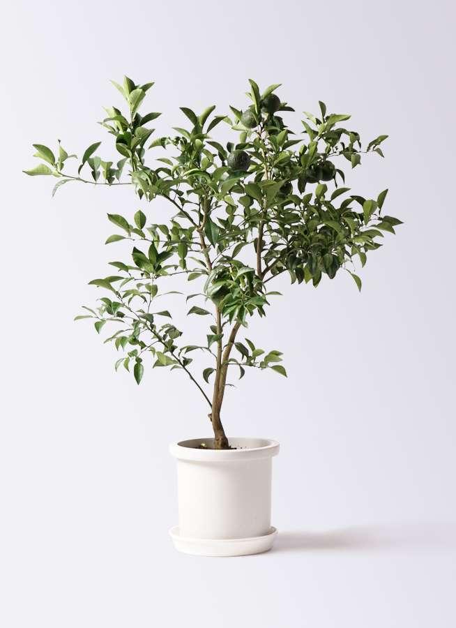 柚子 (ゆず)の木 8号 プラスチック鉢