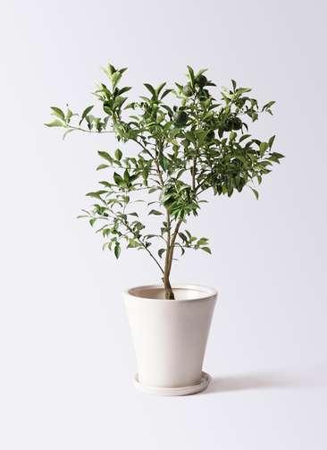 柚子 (ゆず)の木 8号 サブリナ 白 付き