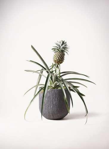 パイナップルの木 10号 カルディナダークグレイ 付き