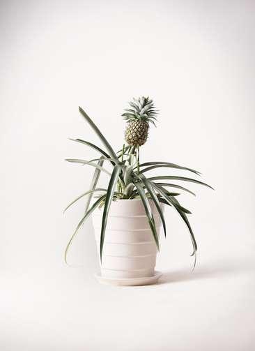 パイナップルの木 10号 サバトリア 白 付き