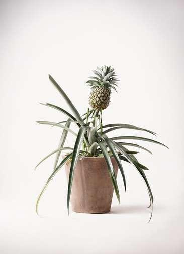 パイナップルの木 10号 ルーガ アンティコ ソリッド 付き