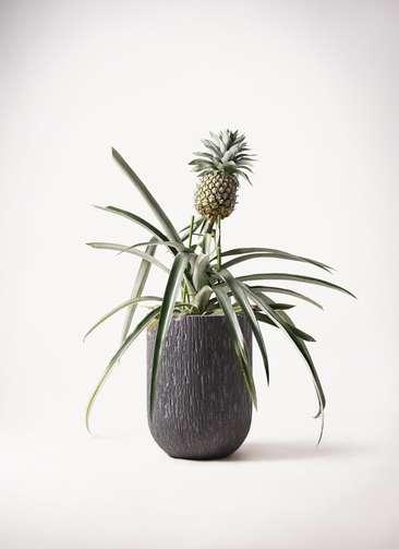 パイナップルの木 10号 カルディナトールダークグレイ 付き