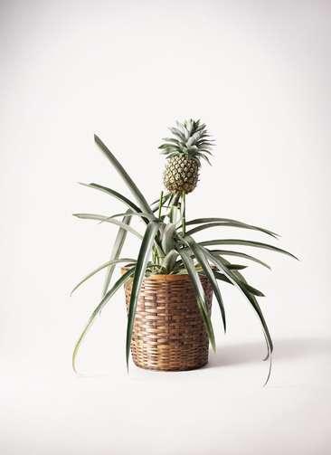 パイナップルの木 10号 竹バスケット 付き