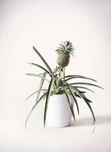 パイナップルの木 10号 フォリオソリッド 白 付き
