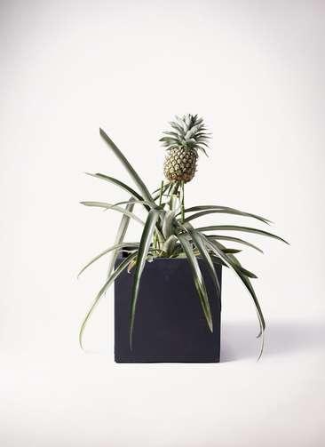 パイナップルの木 10号 ベータ キューブプランター 黒 付き