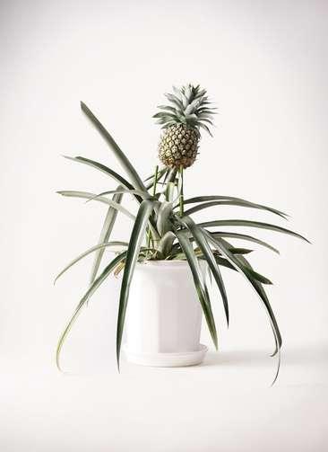 パイナップルの木 10号 プラスチック鉢