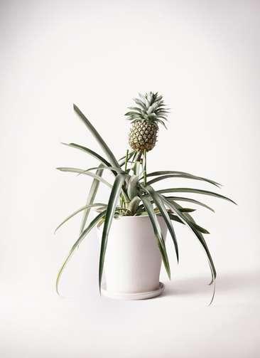 パイナップルの木 10号 サブリナ 白 付き
